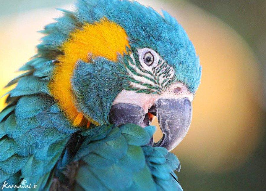 طوطی گلو آبی