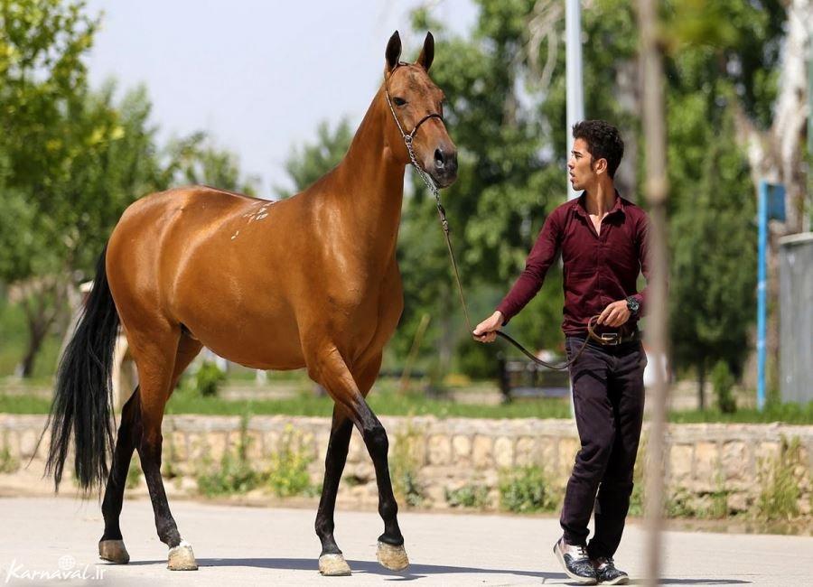 تصاویری از جشنواره ملی زیبایی اسب اصیل ترکمن در بجنورد