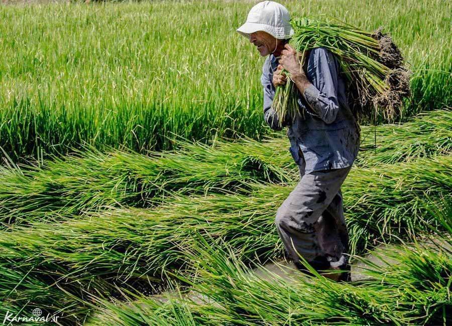 تصاویری از برداشت برنج در روستای ازمیغان طبس
