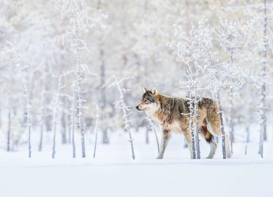 گرگ تنها