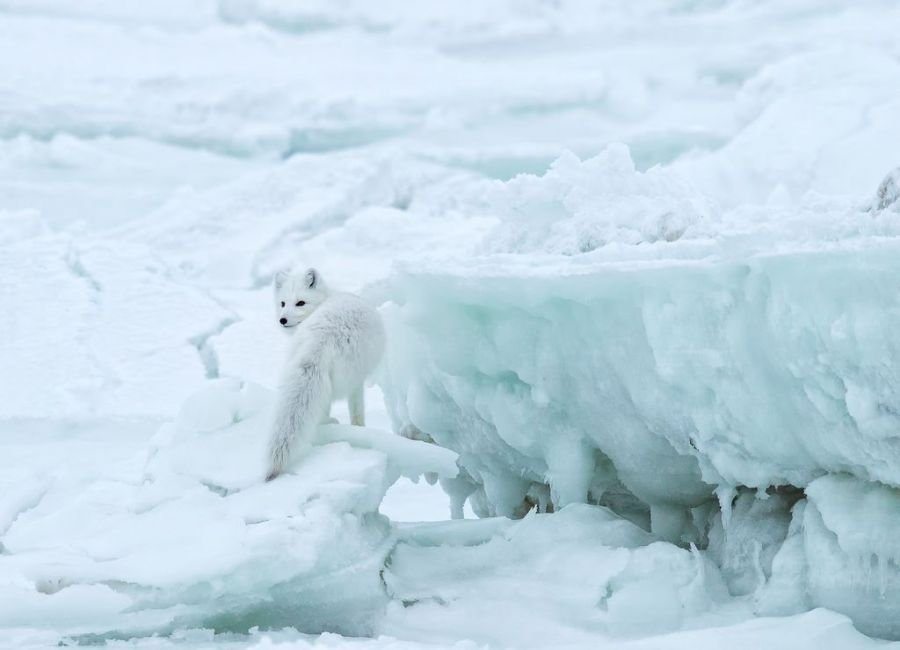 شکار روباه