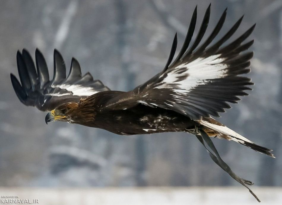 عکس های مسابقه شکار با عقاب در قزاقستان