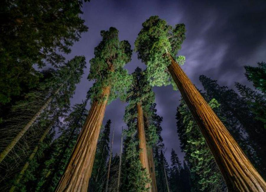 درختان بلند قامت