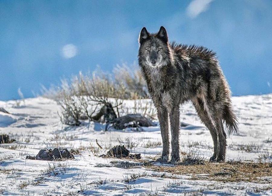 بازگشت گرگ ها