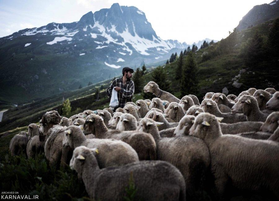 تصاویری از زندگی چوپانی در ارتفاعات آلپ فرانسه