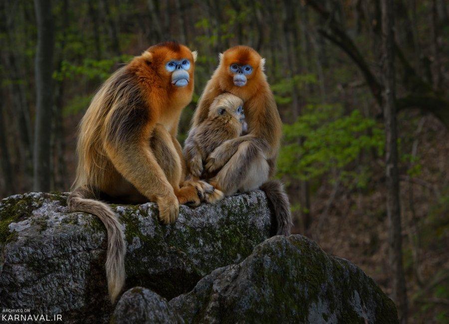 میمون های دماغ سربالا